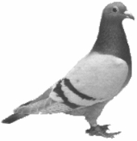 Send a message via Homing Pigeon